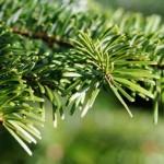 Hvordan holder du dit juletræ friskt efter fældning