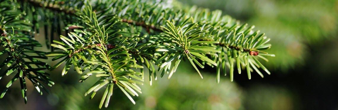 hvor længe holder et juletræ